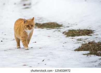 Red cat walking in the snow