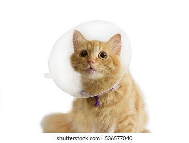 Red cat, wearing a transparent plastic Elizabethan collar on a light background