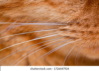 red cat whiskers close up