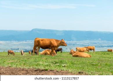 Red cattle, Mt. Aso Kumamoto Japan