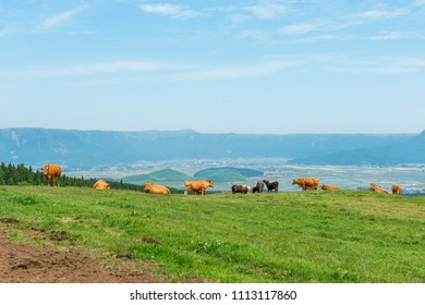 Red cattle, Mt. Aso Kumamoto Japan