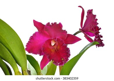 Red Cattleya Orchid isolated on a white background .