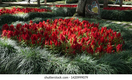 Red Celosia or red Cockscomb is a small genus of edible and ornamental plants in the amaranth family, Amaranthaceae.