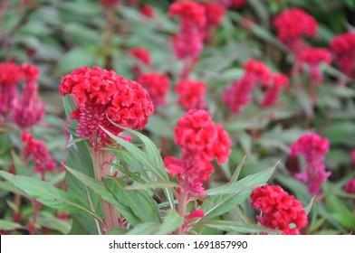 red Celosia cristata or Cockscomb flowers
