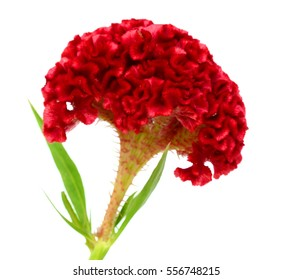 red Celosia flower isolated on white background