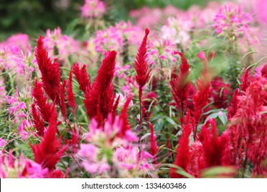 Red celosia plumosa flowers surrounded by pink flowers at a flower garden at barangay Sirao, Cebu City, Philippines.
