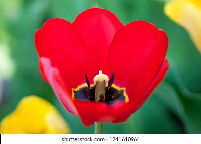 Red Center Tulip