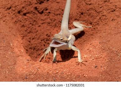 Red Centre Lizard - Australia