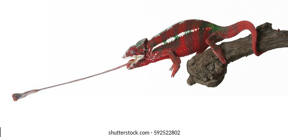 a red chameleon with tongue, studio shot with white background
