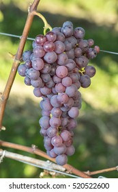 Red Chasselas Grape Is Ready To Harvest In The Vineyard