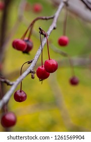 Red Cherries in fall