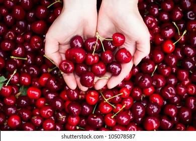 Red cherries in hands