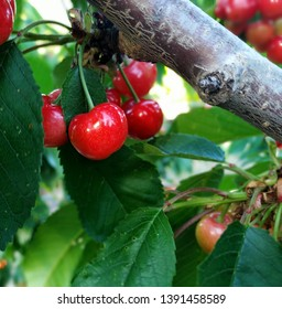 Red cherries hanging on a cherry tree