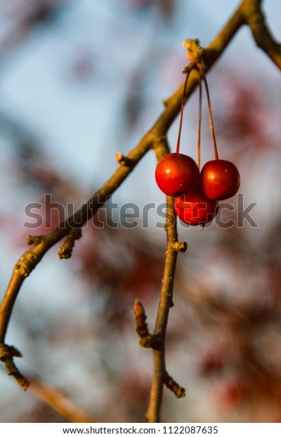 Red cherries lit by the setting sun hang on a leafless branch in fall.