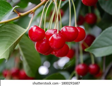 Red cherry berry on a tree branch shortly before harvest, close up