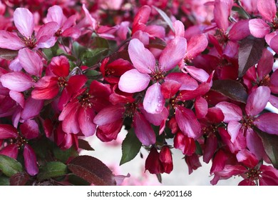 lot of red cherry blossoms