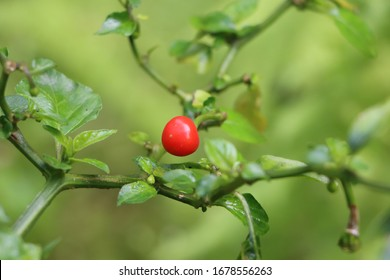 Red cherry pepper or Dalle chilli on plant
