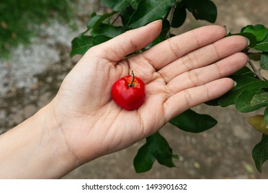 Red cherry Thai or Acerola cherries fruit on woman hand, high vitamin C and antioxidant fruits. Selective focus.