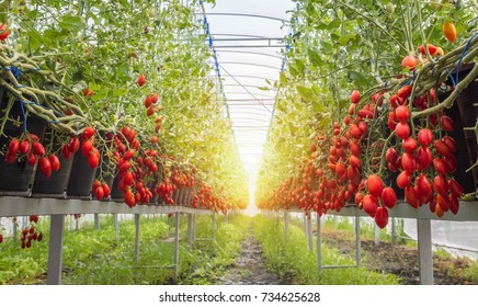 Red cherry tomato, Growing cherry tomatoes in the pots and put on a steel rack in the Green House