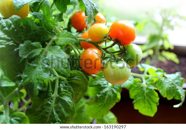Redcherry tomatoes