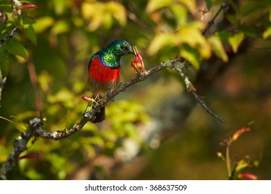 Red chested with sparkling green head nectar feeding african bird Greater Double-collared Sunbird Cinnyris feeds from flower in its typical environment.Blurred green bush  background.