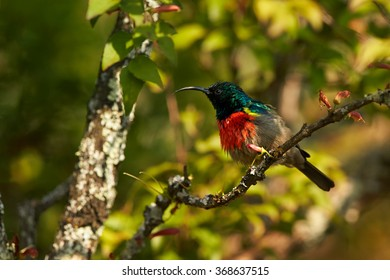 Red chested with sparkling green head nectar feeding african bird Greater Double-collared Sunbird Cinnyris afer perched on twig in its typical environment.Blurred green bush  background.
