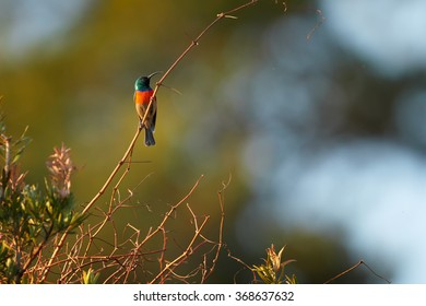 Red chested with sparkling green head nectar feeding african bird Greater Double-collared Sunbird Cinnyris afer perched on twig in its typical environment.Blurred green bush and blue sky  background.