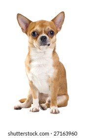 red Chihuahua dog sitting isolated on white background