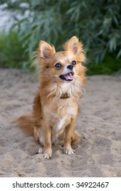 red chihuahua sitting on the beach sand
