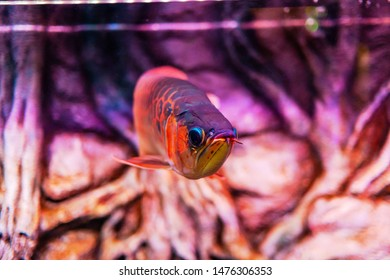 Red Chili Arowana Fish view in close up in an aquarium