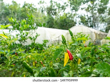 red chili pepper on the plant