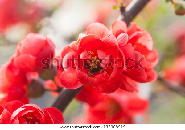 red Chinese flowering apple blooming in the spring,scientific name:Malus spectabilis