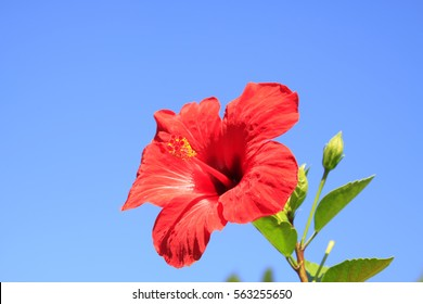 Red Chinese hibisci rosae-sinensis flower