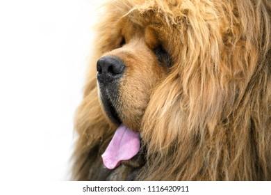 red Chinese-bred Tibetan Mastiff dog Lion Head type portrait close-up on white background