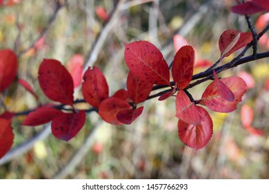 Red chokeberry leaves in a macro closeup with beautiful multicolored soft bokeh background. In this photo you can see all the warm fall / autumn colors and natural light. Photographed in Finland.