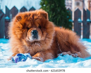 Red chow chow dog in the garden, winter and white snow.