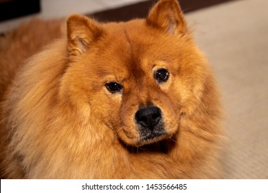 A Red Chow Chow dog with purple tongue