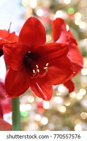 Red Christmas Amaryllis