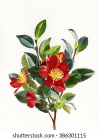 Red Christmas Camellias Isolated.  Watercolor painting, illustration, branch of bright red camellias blooming in winter.