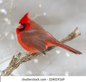 Red Christmas Cardinal Bird perched on a cold tree branch with white, festive falling snow in the background.