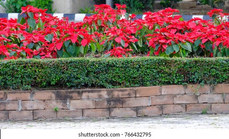 A red christmas flower blossom in a flower bed with sidewalk background and day light for decoration places