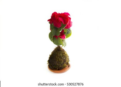 Red Christmas flowers, popular, mexican flower, season of Christmas, Christmas decoration, Pure nature in a kokedama technique, art kokedama, prepare plants, take care of plants, green, green moss