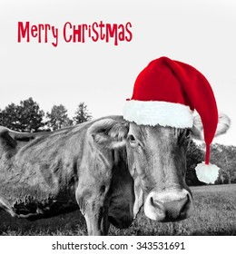 Red Christmas hat on a black and white cow, merry christmas greeting card