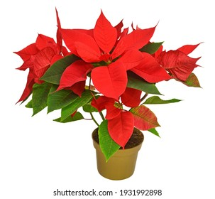 Red christmas poinsettia flowers isolated on white background. Beautiful composition for advertising and packaging design in the business. Flat lay, top view