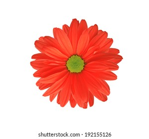 Red chrysanthemum flower isolated on white