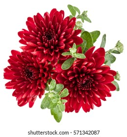 Red chrysanthemum flower isolated on white background.