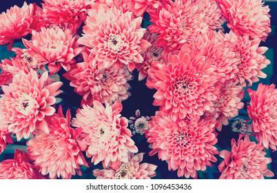 Red chrysanthemum flowers