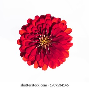 Red chrysanthemum, isolated on a white background