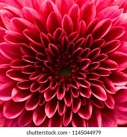 red chrysanthemum macro.red flower macro.close up flower.abstract background background.