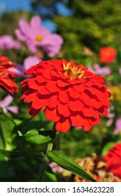 Red chrysanthemum, shallow depth of field